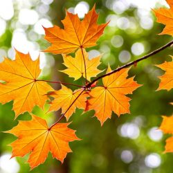 Autumn_Maple_Branches_503106